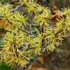 Hamamelis Extrakt 50 ml