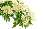 Elderflower WEP Parfumöl 50 ml